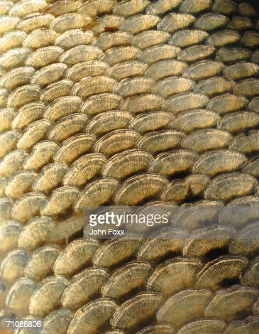 Scales of a fish, extreme close-up : Stock Photo