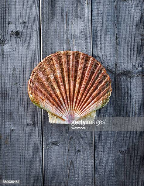 Scallop on wood