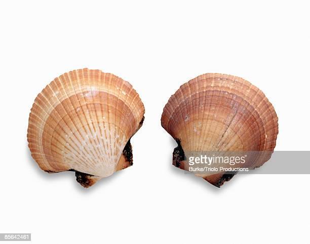 Scallop sea shells