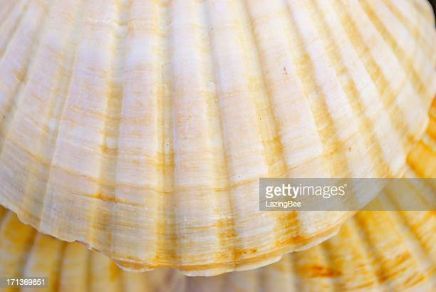 Scallop Shell Background