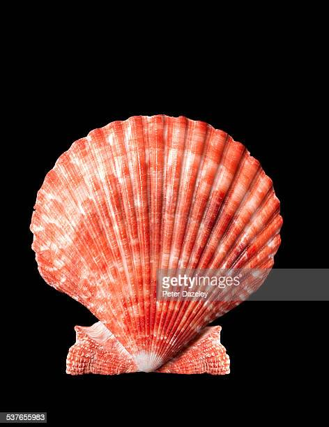 Scallop shell close up on black