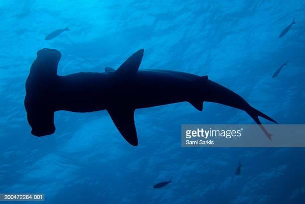 Scalloped Hammerhead shark (Sphyrna lewini), underwater view