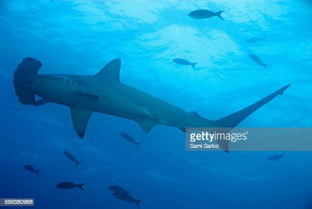 Scalloped Hammerhead shark (Sphyrna lewini), Wolf Island, Galapagos Islands, Ecuador, South America