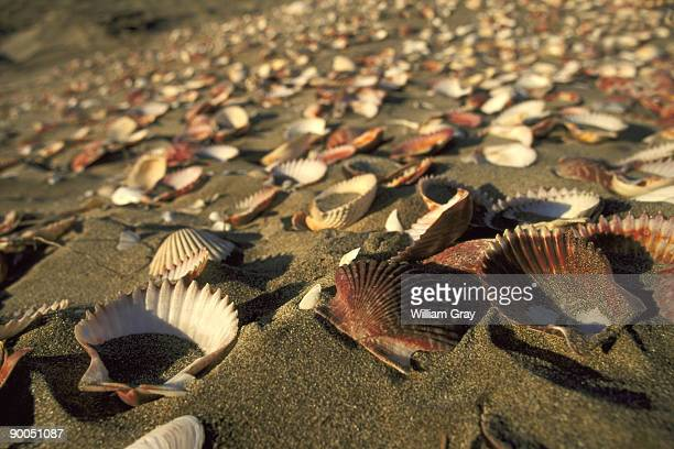 scallops and cockles washed up on pacific coast barrier island, magdalena bay, baja california