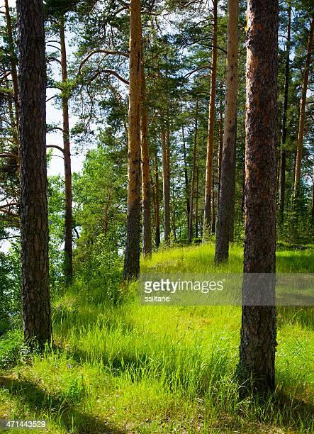 Scandinavia Finland Pine Forest