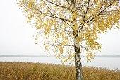 Scandinavia, Sweden, Vastergotland, Birch tree with lake in background
