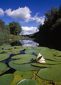 Scandinavia, Sweden, Vastergotland, View of water lily floating on river