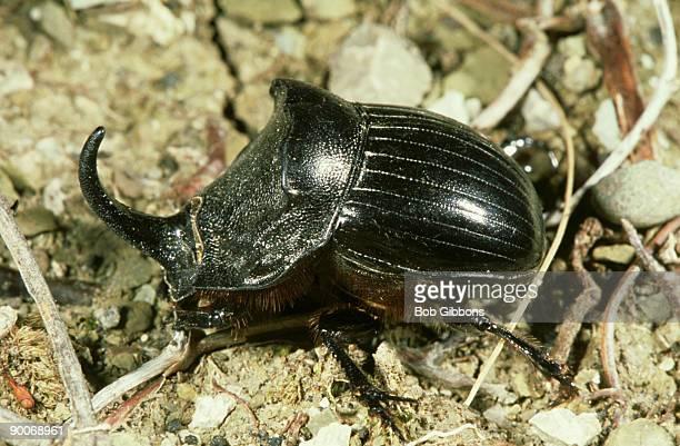scarab beetle, copris hispanus, south west spain