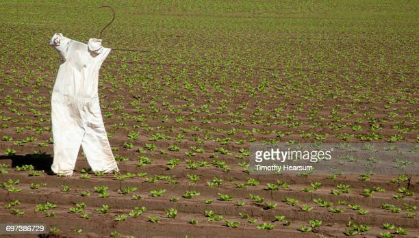 Scarecrow in field of young lettuce plants