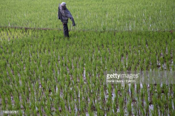 Scarecrow On Rice Paddy
