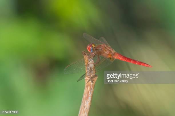 Scarlet Darter, Broad Scarlet (Crocothemis erythrea) - male