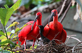 Two Scarlet Ibis birds with a nestling.