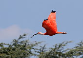 Scarlet Ibis flying by