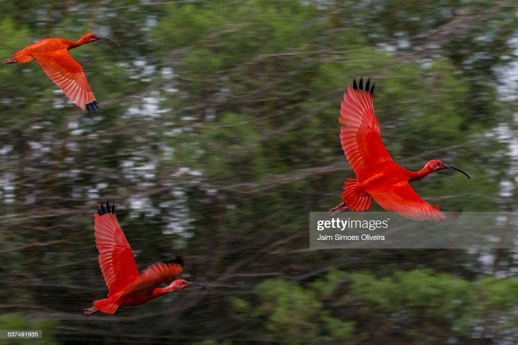 Scarlet Ibis Flying Free