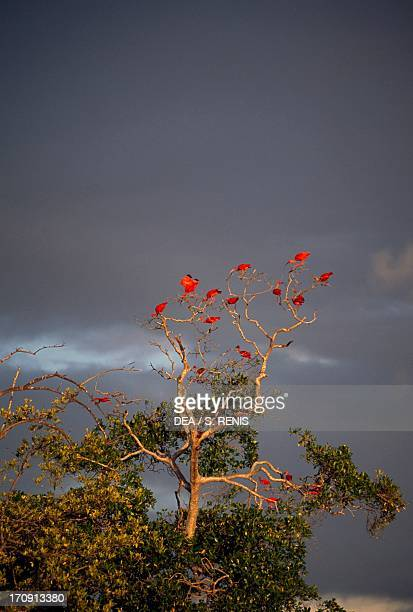 Scarlet Ibis known as guara at the mouth of the Parnaiba River Isle of Guara State of Maranhao Brazil