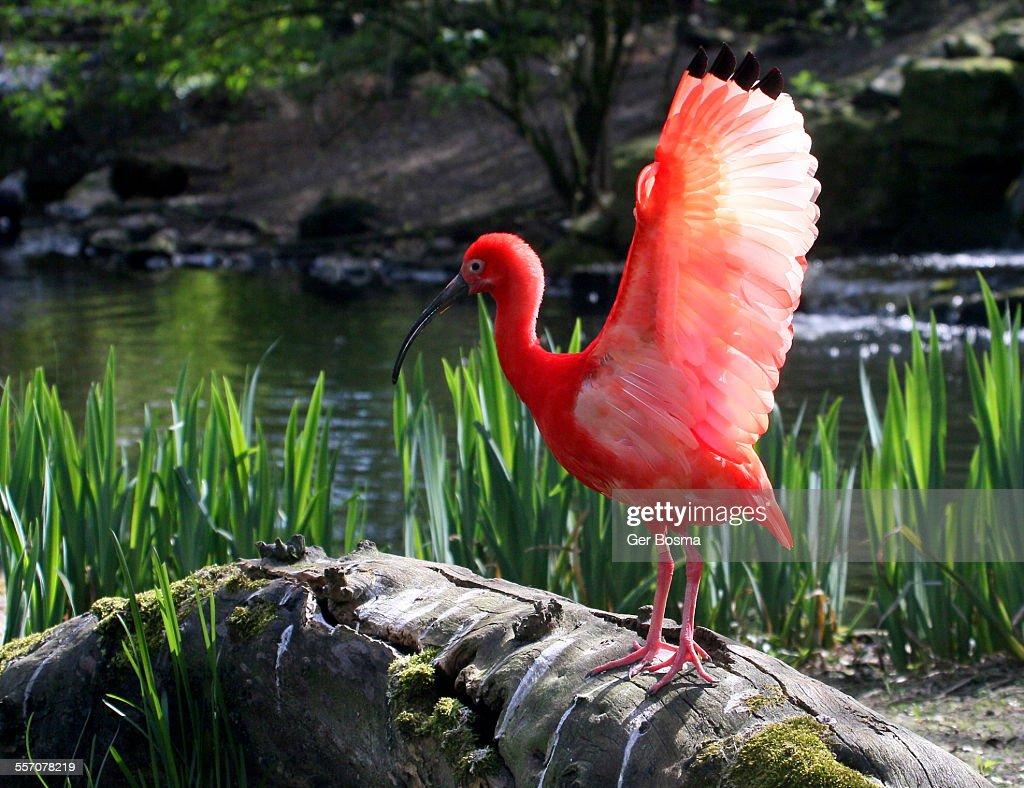 Scarlet ibis landing