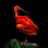 Scarlet Ibis on black background with closed eyes