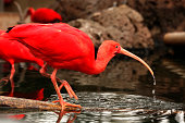 Scarlet ibis on the water (Eudocimus Ruber)