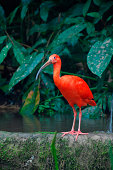 One Scarlet Ibis standing near a pond, on surface level.