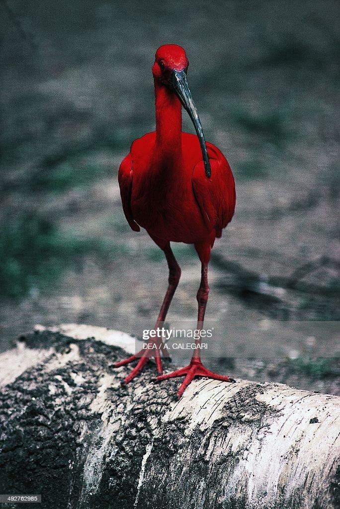 Scarlet ibis Threskiornithidae