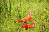 Trio of Scarlet Ibis in the field