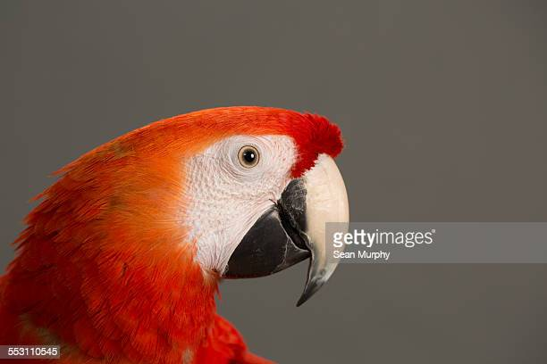 Scarlet Macaw Against Plain Background