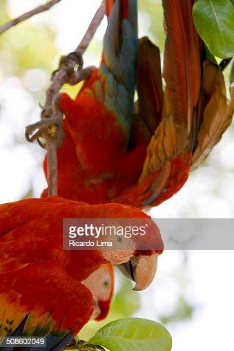 Scarlet macaw Ara chloropterus : Foto de stock