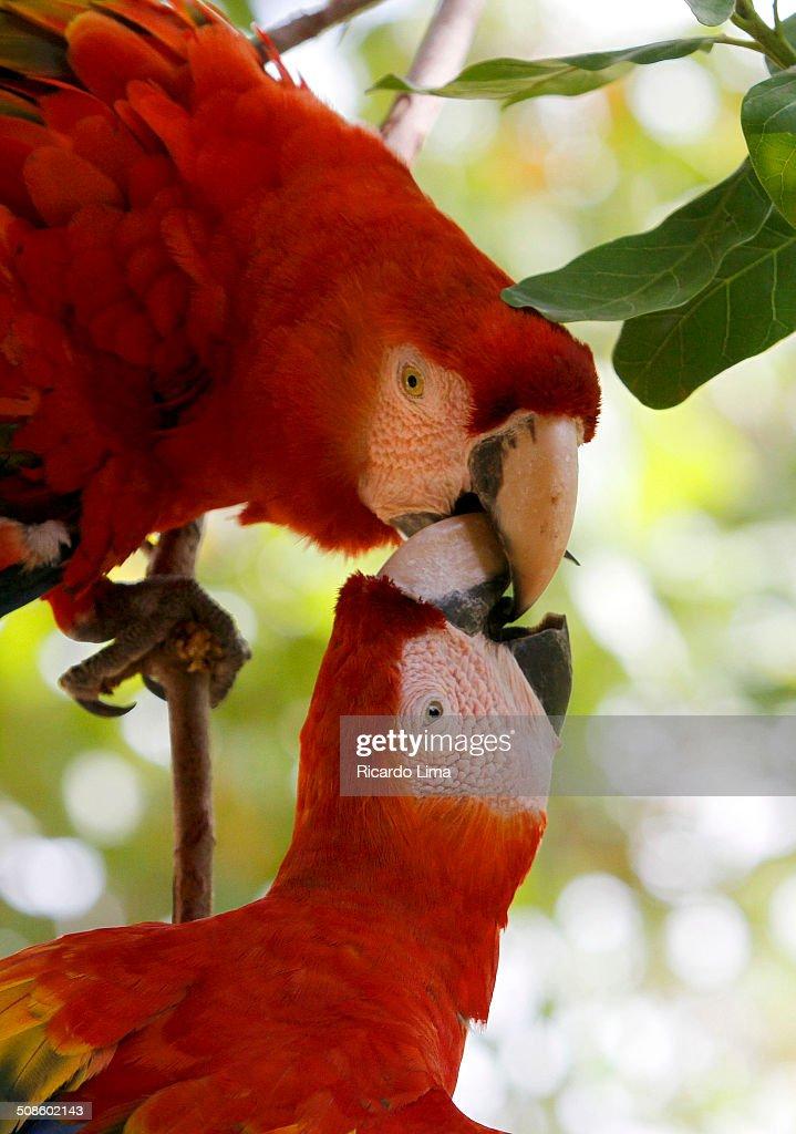 Scarlet macaw Ara choropterus : Foto de stock