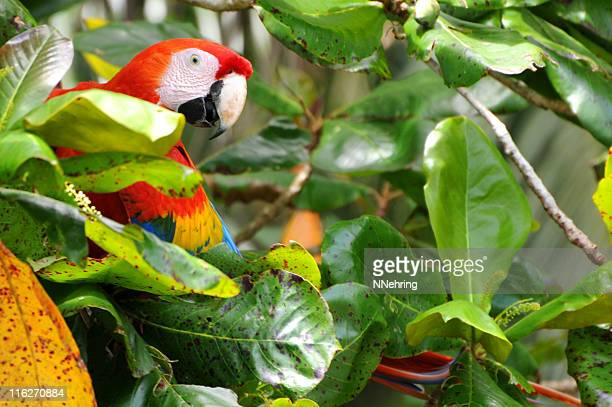 scarlet macaw, Ara macao, in tree