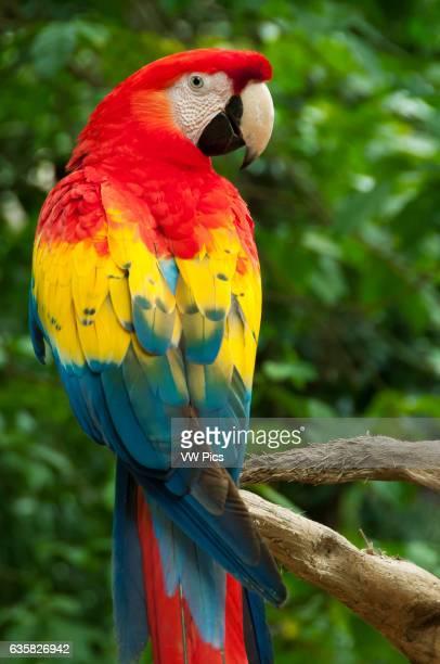 Scarlet Macaw at Xcaret ecoarcheological park Riviera Maya Mexico