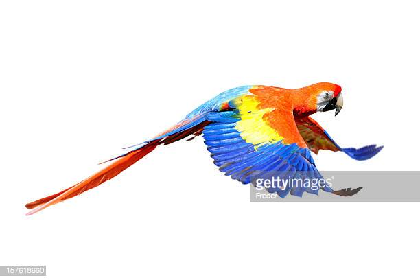 A scarlet macaw flapping its wings in flight