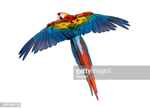 Scarlet Macaw flying (4 years old), isolated on white : Stock Photo