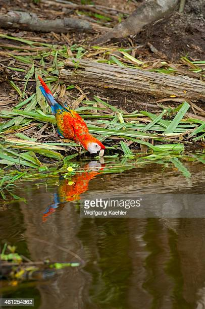 A scarlet macaw is drinking from a pond in the rainforest at the Maranon River in the Peruvian Amazon River basin near Iquitos