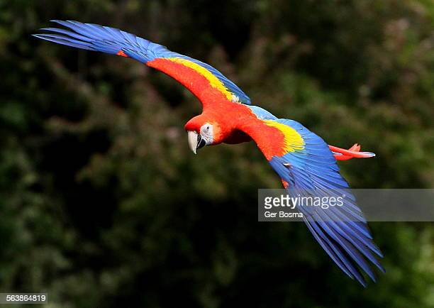 Scarlet macaw on the wing