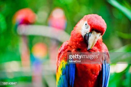 Scarlet Macaw - Parrot