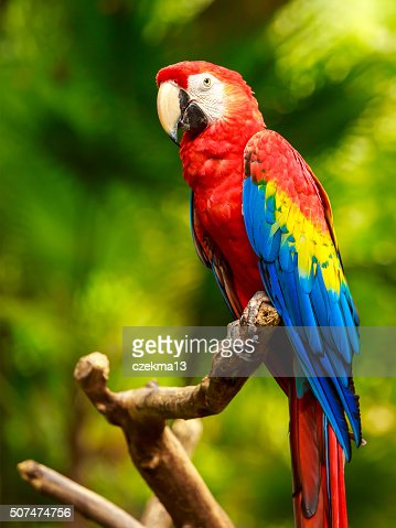 Scarlet Macaw parrot : Stock Photo