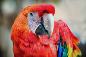 Close-up of a Scarlet Macaw.
