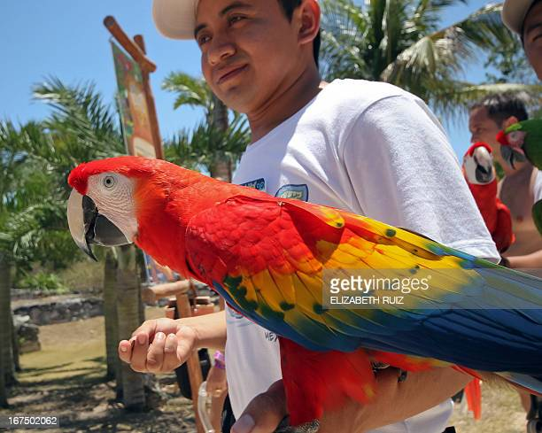 Scarlet macaws are taken to Xcaret park in the Mayan Riviera near Playa del Carmen city Mexico on April 25 2013 The Xcaret park broke the Guinness...