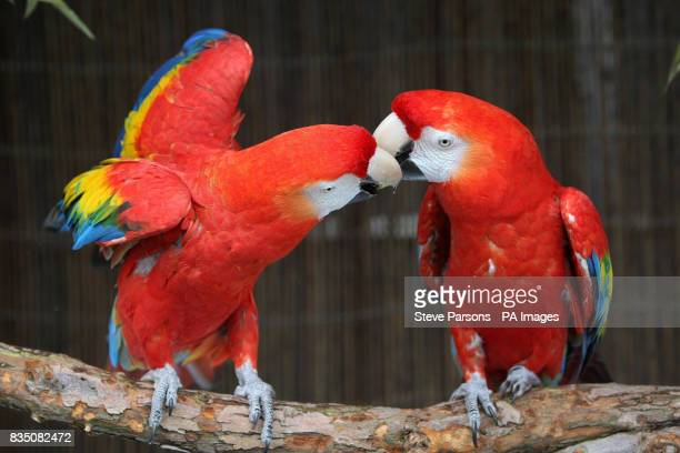 Scarlet Macaws Inca and George give each other a peck on the beak and a rose for St Valentine's Day at Whipsnade Zoo near Dunstable Bedfordshire