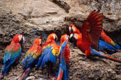 Scarlet macaws (Ara macao) perched on rock