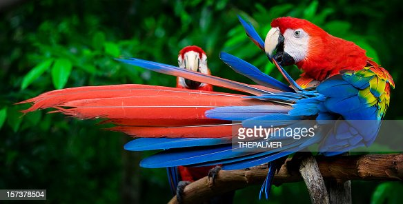 scarlet macaws perched