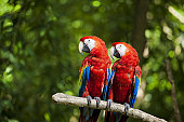 two scarlet macaws perched in a branch.
