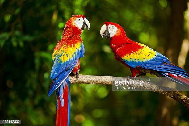 Scarlet Macaw Stock Photos and Pictures | Getty Images