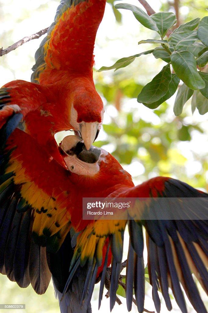 Scarlet macaws (Ara choropterus) : Stock Photo