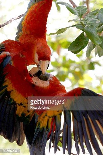 Scarlet macaws (Ara choropterus) : Foto de stock