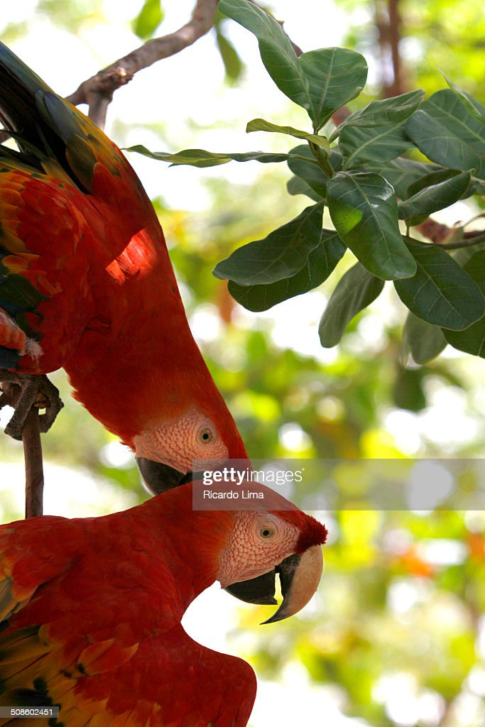 Scarlet macaws : Foto de stock