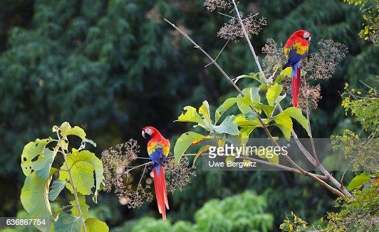 Scarlet macaws : Stock Photo