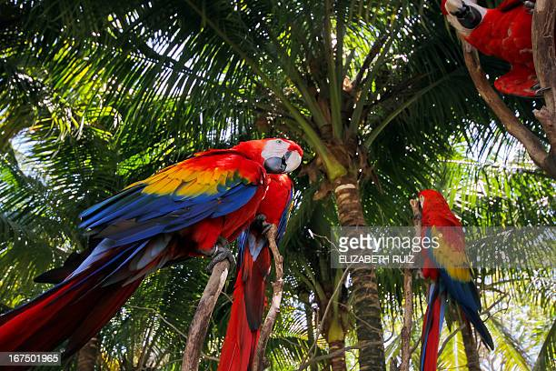 Scarlet macaws sit on a palm tree at Xcaret park in the Mayan Riviera near Playa del Carmen city Mexico on April 25 2013 The Xcaret park broke the...