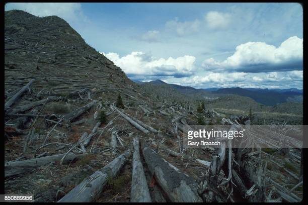 Scattered silver fir seedlings begin to grow among the devastated forest near Mount Saint Helens Some saplings were protected from the volcanic blast...