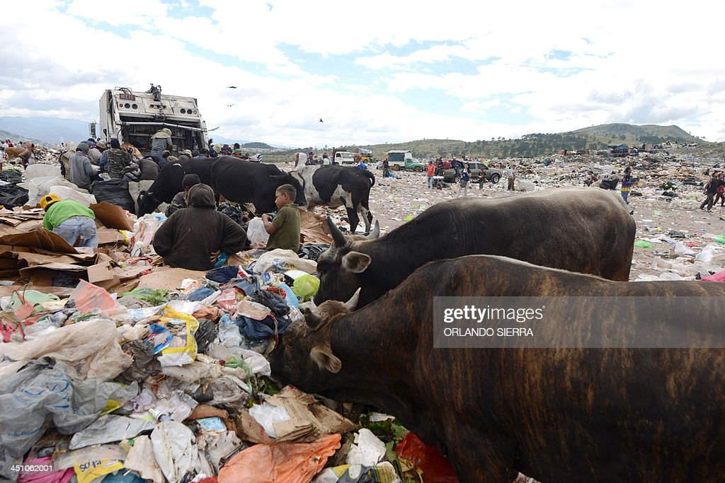 Scavengers and animals search for food in the garbage at the municipal rubbish dump 20 km north of Tegucigalpa on November 21 2013 Honduras one of...